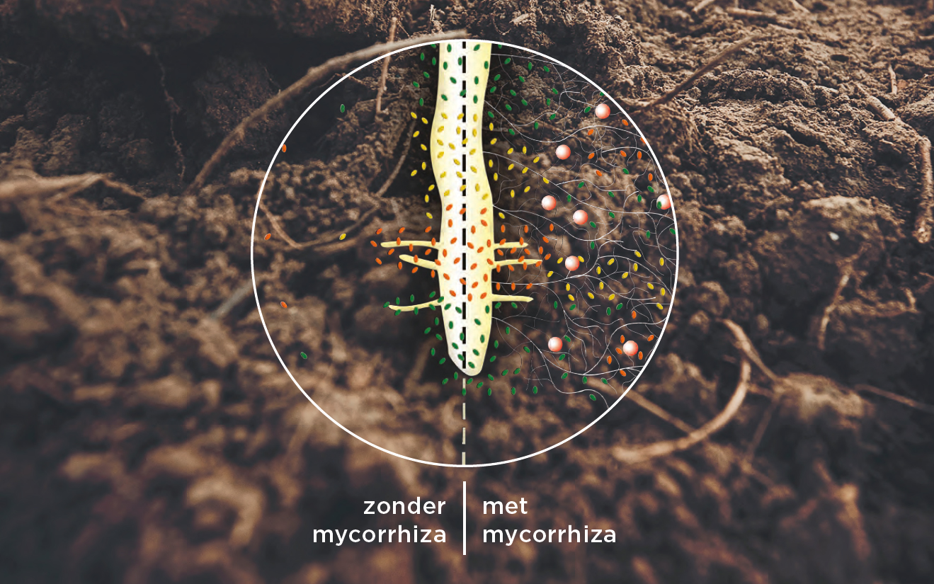 Alles over Mycorrhiza