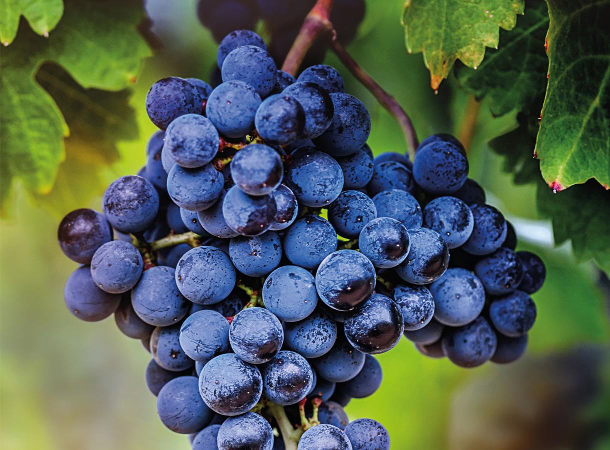 Uitdagingen in de druiventeelt